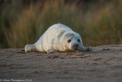 Newborn (Mister-Tee) Tags: winterton wintertononsea norfolk seal greyseal juvenilegreyseal marine sea coast nikon nikond750 newborn