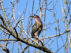 Green Heron (LouisvilleCardinal) Tags: mlwright greenheron heron