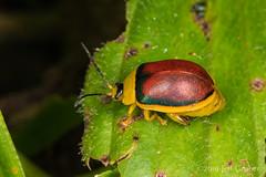 Flea Beetle (Paranaita bilimbata) (jgruber111) Tags: paranaitabilimbata paranaita alticinae chrysomelidae coleoptera insect macro entomology leafbeetle beetle fleabeetle ecolodgeitororó