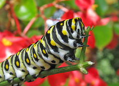 7th Day of Christmas Butterflies:  Black Swallowtail caterpillar (Vicki's Nature) Tags: blackswallowtail caterpillar black yellow spots green fennel bougainvillea red yard georgia vickisnature christmas2019 8716 canon s5 closeup macro return returnnc