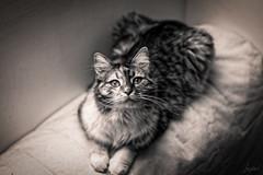 Moonlight. (LACPIXEL) Tags: moonlight pet animal cat chat flickr sony gato mascota lacpixel