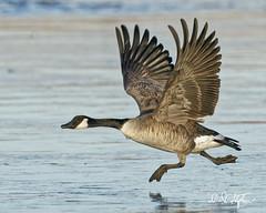 Wait For Me (dcstep) Tags: eagle baldeagle flight sonya9 fe600mmf4gmoss cherrycreekstatepark cherrycreekreservoir birdinflight bird allrightsreserved copyright2019davidcstephens dxophotolab canadageese goose dsc0211dxo takeoff running