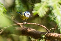 20190323_Vincennes_Mésange bleue (thadeus72) Tags: aves birds cyanistescaeruleus eurasianbluetit mésangebleue oiseaux paridae paridés passériformes