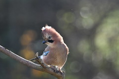 geai des chênes / Garrulus glandarius  19E_9372o (Bernard Fabbro) Tags: geai des chênes eurasian jay oiseau bird garrulus glandarius