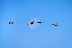 Bosque Del Apache - New Mexico (Bernie Duhamel) Tags: bosquedelapache sanantonio newmexico wildlife migration bird birds bernie duhamel flight flying moon sonya9 sonyfe100400mm greatphotographers teamsony sandhillcranes