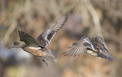 Fly away (woodwindfarm) Tags: american wigeon flight bird in bif