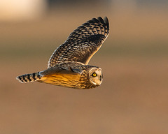 Short-eared Owl flying south (Thomas Muir) Tags: asioflammeus woodcounty wildlife ohio bowlinggreen bird birdwatching midwest northamerica flying hunting winter solstice nikon d850 600mm farm agriculture raptor animal outdoor
