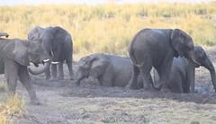 The Mudhole (peterkelly) Tags: digital canon 6d africa intrepidtravel capetowntovicfalls botswana chobenationalpark choberiver savannaelephant elephant mudbath muddy mud herd savanna grassland savannahelephant