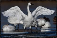 Tundra swan (RKop) Tags: fernaldpreserve ohio raphaelkopanphotography nikon birds nature d500 600mmf4evr 14xtciii