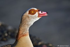 Oca  _045 oca egiziana (Rolando CRINITI) Tags: oca ocaegiziana uccelli uccello birds ornitologia avifauna fiumeentella chiavari natura