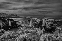 Looking South From La Jolla In Black And White (Bill Gracey 25 Million Views) Tags: blackandwhite bw noiretblanc blancoynegro infrared infraredphotography ir convertedinfraredcamera clouds succulents lajolla seascape surf highcontrast silverefexpro landscape aloeveraplantflowers