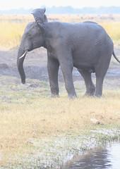 BotswanaChobeNationalParkChobeRiverSavannaElephantCrossingEarFlapping (peterkelly) Tags: digital canon 6d africa intrepidtravel capetowntovicfalls botswana chobenationalpark choberiver elephant flapping ears trunk savannaelephant grassland savannahelephant
