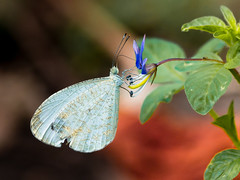 tiny white butterfly (Lr Home) Tags: a6000 macro sel30m35 nature insect lrhome butterfly