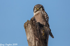 Winter Wonder (Greg Taylor Photography) Tags: owl northern hawk ontario boreal forest winter raptor prey bird