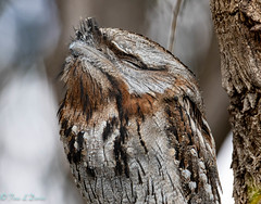 Tawny Frogmouth (Tina and Maz) Tags: bird brown tawnyfrogmouth tree sleeping feathers beak watching
