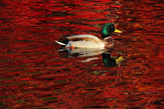 Christmas Colors (murraymike89410) Tags: sequim washington 100400 carrieblakepark reflection fall autumn