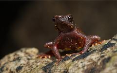 Fire in his belly.... (Moving Iris) Tags: toad amphibians amphibian amphibiansofindia herpetofauna herps herping naturephotography nikonmacro nikond500 nikonindia nikonherping
