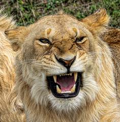Wanna fight? (PhilHydePhotos) Tags: africa mvuli seasonofsmallrains serengeti tanzania lion