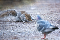 Mamma said knock you out (Paul wrights reserved) Tags: box boxing boxer squirrel squirrels pigeon mammal mammals animal animals animalantics bokeh focus nature naturephotography wildlife wildanimal wildlifephotography fight composition perspective