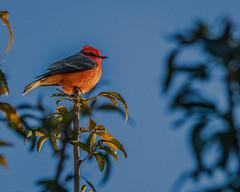 Vermilion Flycatcher in the Treetops (Stephen G Nelson) Tags: bird flycatcher park tree desert tucson arizona