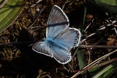 Bläuling (Hugo von Schreck) Tags: bläuling hugovonschreck butterfly schmetterling macro makro insect insekt canoneosm50 tamronsp90mmf28divcusdmacro11f017
