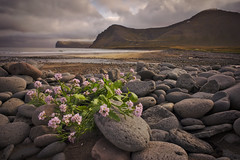 Living on the rocks (PoetheusFotos) Tags: landscape iceland trekking hiking rock flower sea lake cliff mountain solemn morning evening wild beach no humans people nature northern north hornstrandir wind storm cloud dramatic
