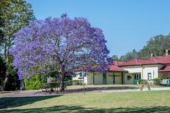Jacaranda blooming (agasfer) Tags: 2019 australia queensland pentax k3 sigma1020