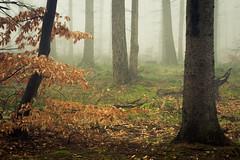 Snowless Winter (Netsrak) Tags: baum bäume eu eifel europa europe forst landschaft natur nebel rheinland rhineland wald fog forest landscape mist nature outdoor trees winter woods