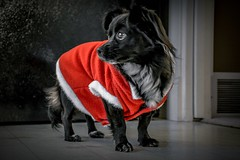Santa 'paws'  - Puppy's 1st Christmas (Christie : Colour & Light Collection) Tags: puppy dog canine chihuaua chihuahua red christmas santa happyholidays christmastime doggy pet blackandwhite santasuit redandwhite merrychristmas seasonsgreetings smalldog little pomeranian pomchi santapaws pup friend animal