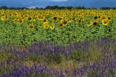P1140819 (alainazer) Tags: valensole provence france fiori fleurs flowers fields champs colori colors couleurs ciel cielo sky lavande lavanda lavender tournesol girasole sunflower