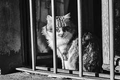 Palmiro doesn't feel Christmas spirit (stefanobosia) Tags: cat portrait blackandwhite gatto ritratto biancoenero pet pets animali animale animaledomestico cats gatti portraitphotography