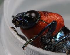 Buprestid Beetle (Castiarina gardnerae) (iainrmacaulay) Tags: australia qld beetle buprestidae castiarina gardnerae