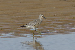 K32P7283aa Knot, Titchwell Beach, September 2019 (bobchappell55) Tags: calidriscanutus norfolk titchwell beach bird knot nature wader wild wildlife