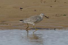 K32P7269aa Knot, Titchwell Beach, September 2019 (bobchappell55) Tags: calidriscanutus norfolk titchwell beach bird knot nature wader wild wildlife