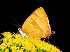Nierenfleck-Zipfelfalter, Thecla  betulae (Eerika Schulz) Tags: thecla betulae nierenfleck zipfelfalter eerika schulz