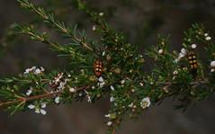 Looks a bit like Xmas. (ron_n_beths pics) Tags: westernaustralia perthbushlands buprestidae jewelbeetles