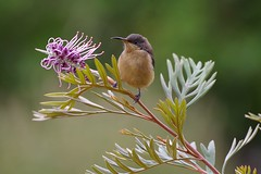 Eastern Spinebill (Juvenile) (carlgroover) Tags: blue mountains bird native nature wildlife australia nsw pentax k1 150450 grevillea