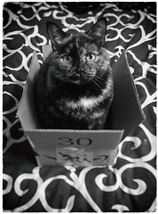 All Wrapped Up & Ready to Go (Katrina Wright) Tags: img2338editedit amazon jungle box cat bw monochrome ella feline caturday hss sliderssunday 30 pattern eyes whiskers fur tortie tortoiseshell package mail