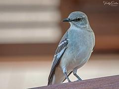 🇺🇸 Northern Mockingbird - State bird of Florida KW 0444 (vickyoutenphoto) Tags: vickyouten northernmockingbird mockingbird wildlife nature nikon nikond7200 nikkor55300mm keywest florida usa