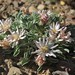 Nevada grounddaisy, Townsendia scapigera