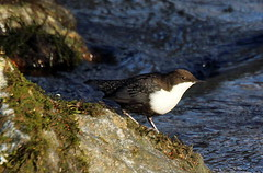 Dipper (irio.jyske) Tags: stone sipper river water flowing naturepictures naturephoto naturephotograph nature naturescape naturephotos naturephotographer naturepics naturepic natural birdphotographer birdphotograph birdphoto birdpics bird birdpic birds beauty beautiful