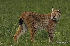 Lynx lynx, lince boreal, europeo, eurasiático o común. (Javier Arcilla) Tags: naturaleza mamiferos lince linceboreal pentax pentaxk70 sigma ·sigma apo 70300mm cabarceno cantabria españa