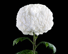 Large Chrysanthemum American Beauty White on black background (Dave Denby) Tags: american americanbeauty background beautiful beauty big black bloom blooming blossom botany bright christmas chrysanthemum closeup color elegance flora floral florist flower flowerhead flowers fresh garden green head heart large leaf macro natural nature pattern petal petals plant pure shape smell summer top view vintage white