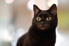 Lilli (rengawfalo) Tags: hauskatze haustier stubentiger tier lilli katze cat animal pet kitten auge eyes cc100