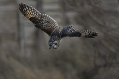 Short-Eared Owl (Ann and Chris) Tags: diving owl wildlife beautiful hunting nature loveowls great shortearedowl
