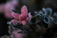décoration de Noël (christophe.laigle) Tags: christophelaigle fuji xpro2 xf60mm bokeh fleur flower frost frosty givre macro nature pink rose