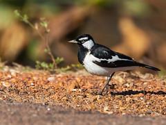 Magpie-lark (Grallina cyanoleuca) (Arturo Nahum) Tags: arturonahum magpielark grallinacyanoleuca australia darwin birdwatcher bird nature animal