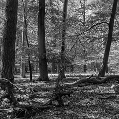Life and death (b_kohnert) Tags: bw blackandwhite forest trees bäume wald outdoor nature landscape