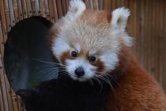 Ailurus fulgens (Co lennings2011) Tags: born 2019 pandajong redpanda kleine panda ailurusfulgens artis zoo amsterdam