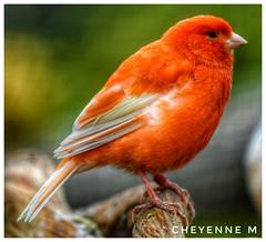 Un beau canari 😍 (cheyennemercier) Tags: birds oiseau canari pairidaiza wildlife nature beautiful animal animaux